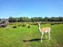Prickig lantgård för olympisk lek för hjortar Arkivbilder