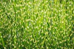 Prickig ny bakgrund för grönt gräs fotografering för bildbyråer
