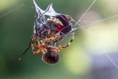 Prickig Orb Weaver Spider med den prickiga lyktaflugan som fångas i dess rengöringsduk royaltyfri bild