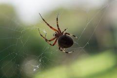 Prickig Orb Weaver Spider som rotera en rengöringsduk royaltyfri bild