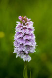 prickig orchid arkivbilder