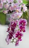 Prickig orkidé för härlig ros Royaltyfria Foton