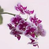 Prickig orkidé för härlig ros Royaltyfri Fotografi