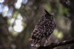 prickig owl Fotografering för Bildbyråer