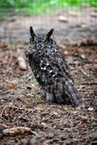 prickig owl Royaltyfria Bilder