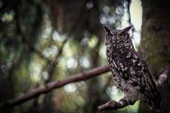 prickig owl Royaltyfri Fotografi