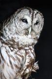 prickig owl Royaltyfri Foto