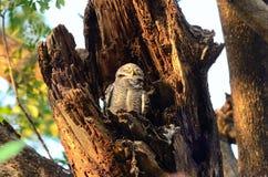 prickig owlet Arkivbilder