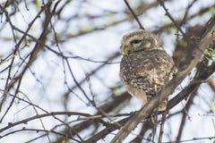 prickig owlet Arkivfoto