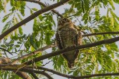 prickig owlet Royaltyfri Fotografi
