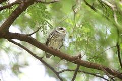 prickig owlet Fotografering för Bildbyråer