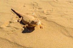 Prickig padda-hövdad Agama på sand Arkivfoton