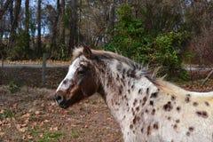 Prickig ponny för Appaloosa Arkivbilder