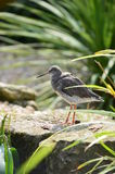 Prickig Redshank royaltyfri foto