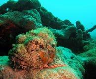 prickig scorpionfish royaltyfri bild