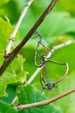 Prickig spridning congener Wing Damselfly - Lestes arkivfoto