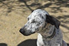 Prickig vit- och svartCunucu hund med hans stängda ögon royaltyfria bilder