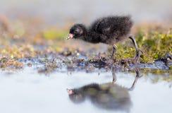 Prickiga Crake - Porzanaporzana - fågelunge Royaltyfria Foton
