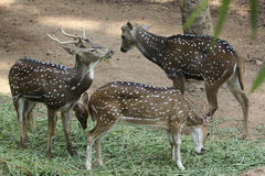 prickiga deers Royaltyfria Foton