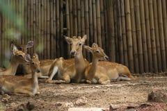 Prickiga deers eller den axelhjortar och familjen kopplar av i den trädgårds- zoo, yxa arkivbilder