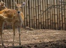 Prickiga deers eller den axelhjortar och familjen kopplar av i den trädgårds- zoo, yxa royaltyfri foto