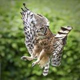 Prickiga Eagle Owl (Buboafricanusen) Arkivfoton