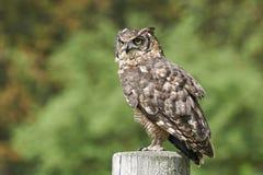 Prickiga Eagle Owl (Buboafricanusen) Fotografering för Bildbyråer