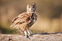 Prickiga Eagle Owl South Africa arkivbilder