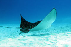 Prickiga Eagle Ray Royaltyfri Foto