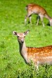 Prickiga hjortar i äng Royaltyfri Bild