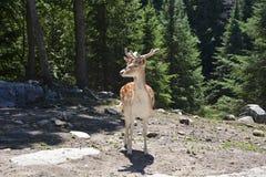 Prickiga hjortar i skogen fotografering för bildbyråer