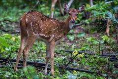 Prickiga hjortar lismar att stirra Royaltyfri Bild