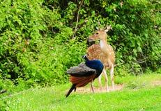Prickiga hjortar och peafowl Arkivbilder