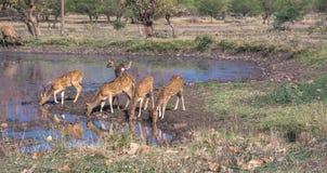 Prickiga hjortar på vattenkroppen Arkivfoto
