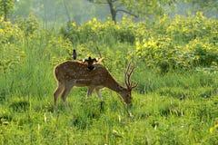 Prickiga hjortar som betar på gryning Royaltyfria Bilder