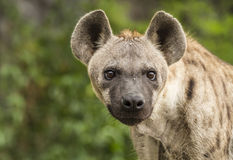 Prickiga hyenor Royaltyfria Foton