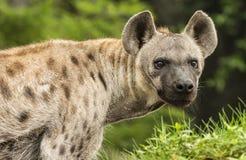 Prickiga hyenor Royaltyfri Bild
