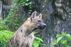 Prickiga hyenor - den prickiga hyenan kan döda så många, som 95% av djuren som de äter Arkivfoton