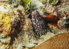 Prickiga Moray Eel - Roatan, Honduras Arkivfoton
