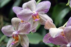 prickiga orchids Arkivfoton