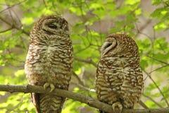 prickiga owls Arkivfoto
