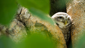 prickiga owls fotografering för bildbyråer