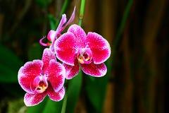 Prickiga rosa orkidér Arkivbild