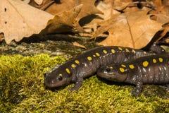 Prickiga salamander Royaltyfri Foto