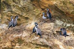 Prickiga shag, en nyazeeländsk infödd fågel som bygga bo på en klippa Royaltyfria Foton