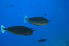 Prickiga Unicornfish Royaltyfri Fotografi