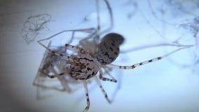 Prickigt äta för spindel stock video
