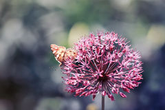 Prickigt ett fjärilssammanträde på en dekorativ lökäng för blomma royaltyfria foton