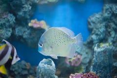 Prickigt försvinna snabbt fisken Royaltyfri Bild