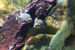 Prickigt försvinna snabbt fisken eller Scatophagus argus Royaltyfria Foton